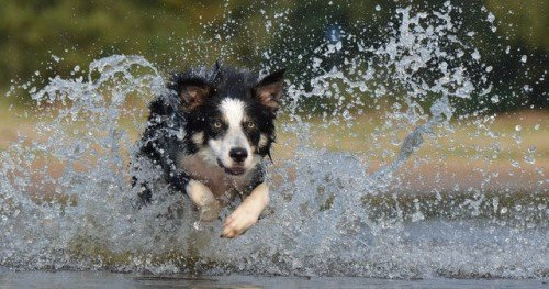 Border Collie jump in water