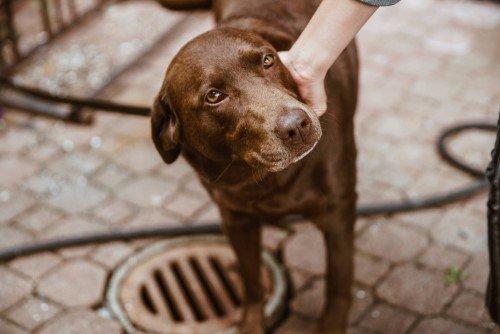 Brown eyed lab dog