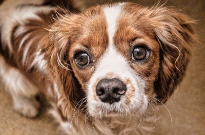 Cavalier King Charles Spaniel good with cats