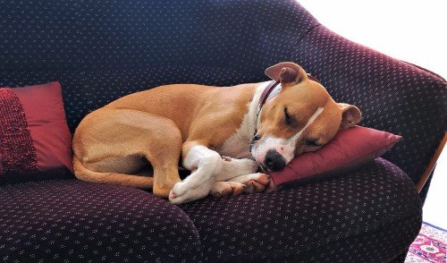 Dog sleeping on a red couch