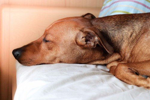 Dog sleeping on my pillow