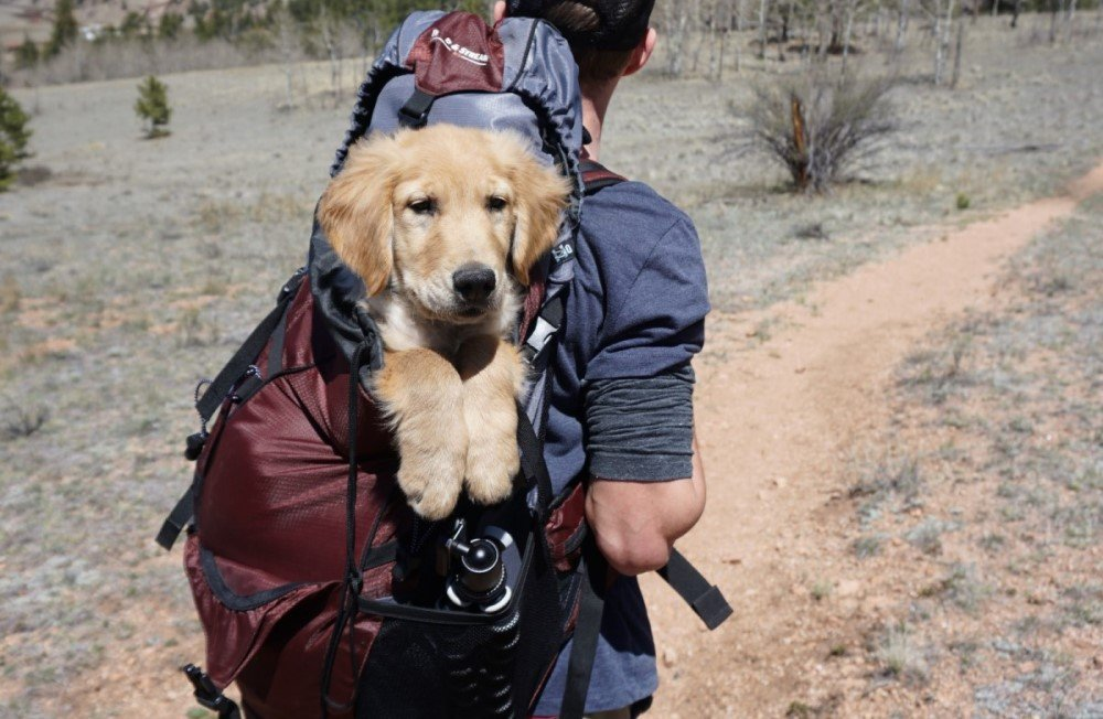 Golden Retreiver in a pet carrier
