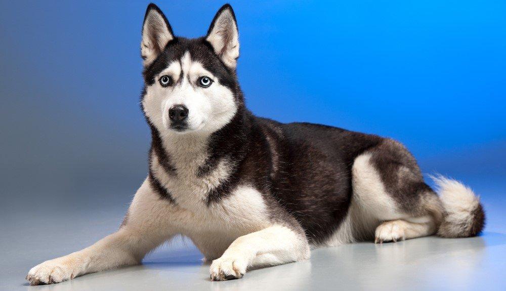 Is Husky a good pet