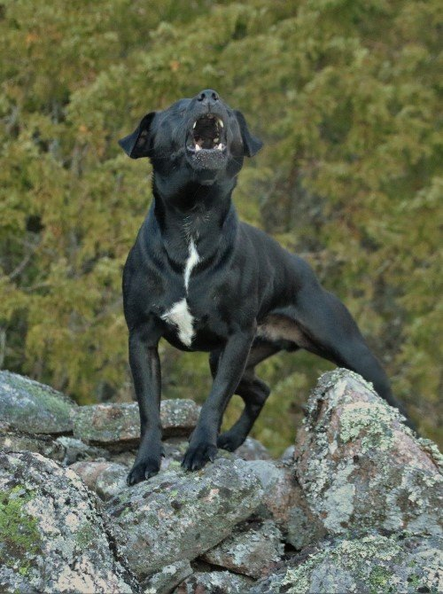 Patterdale terrier barking