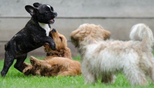Playing puppies in daycare