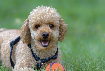 Poodle on the grass