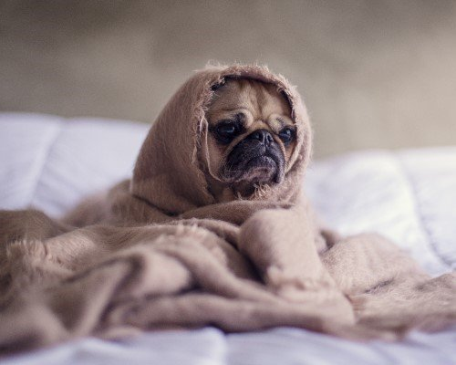 Poorly pug in bed
