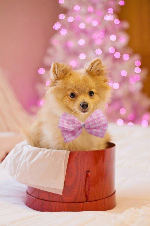 Small dog pomeranian inside a box