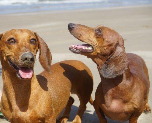 Two brown Dachshund