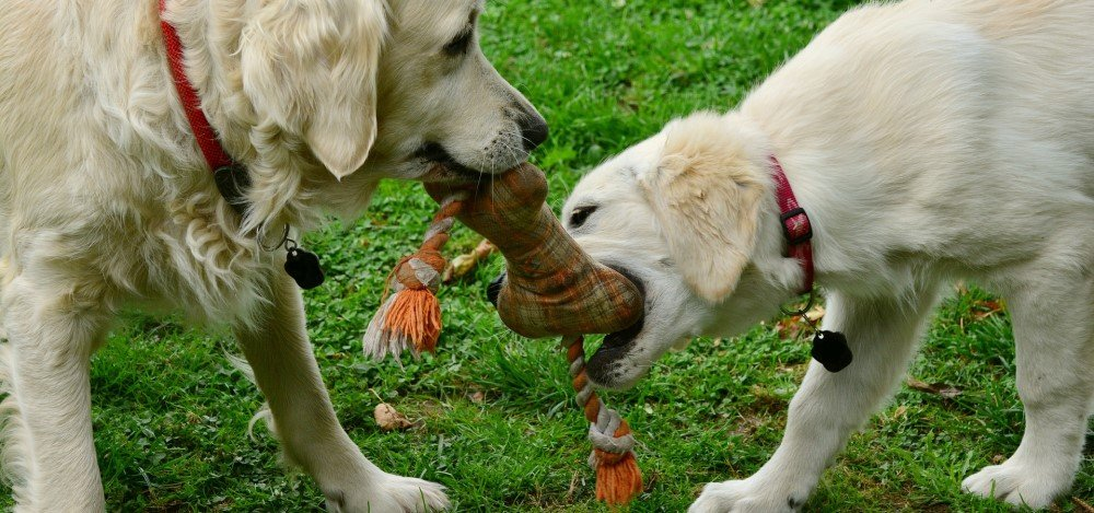 Two dogs playing with the same toy