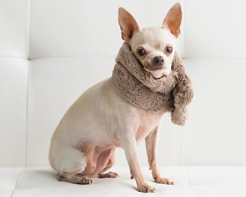 White chihuahua on a white couch