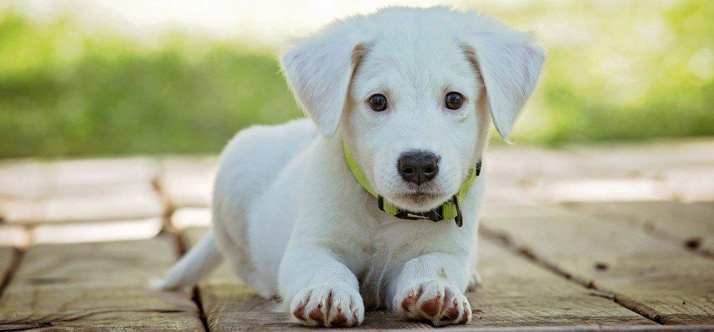 White puppy dog portrait