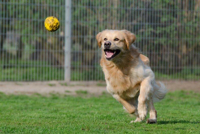 Golden Retriever running after a ball