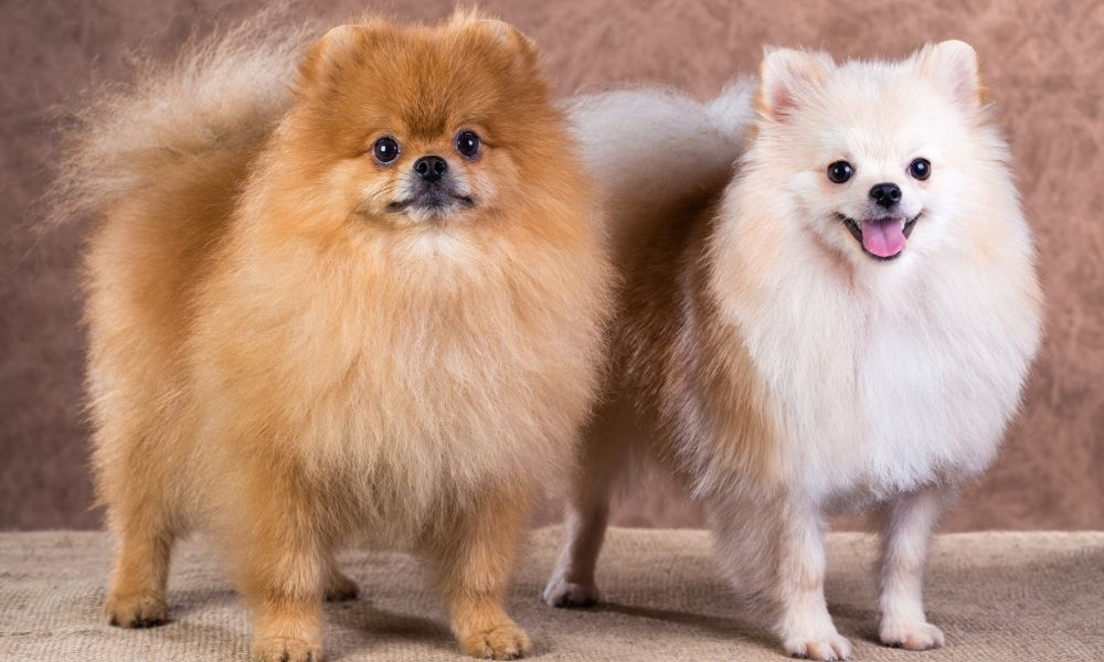 Best things about pomeranians