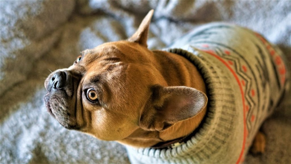 Sweater on a dog